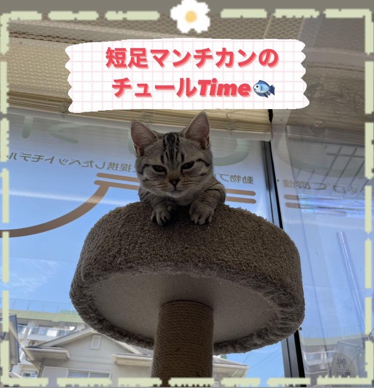 子猫,ペットショップ,キャットスタイル,動物プロダクション,ペットモデル,ペットタレント,モデル猫,タレント猫,マンチカン,ペットモデル普及協会